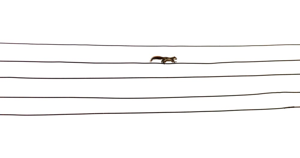 squirrel on a power line