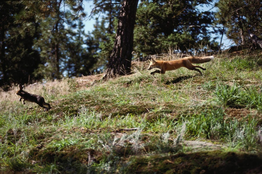 Image result for fox chasing rabbit