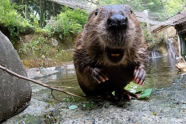 Filbert the beaver noses up to the camera.