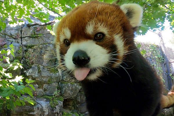 Red panda Moshu sticks his tongue out.
