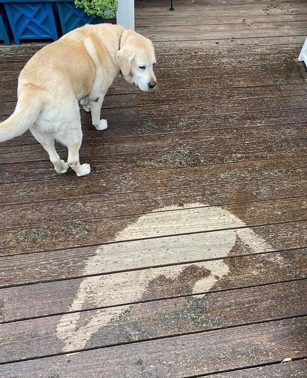 older yellow lab standing on a wooden deck, looking back at a spot where she was sleeping. rain drops have darker the area around her