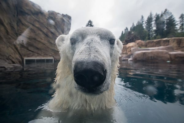 Polar bear Nora noses up to the camera while taking a swim in her pool.