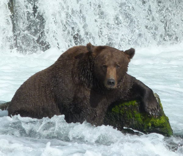 a fat bear sitting in water with one arm propped against a rock