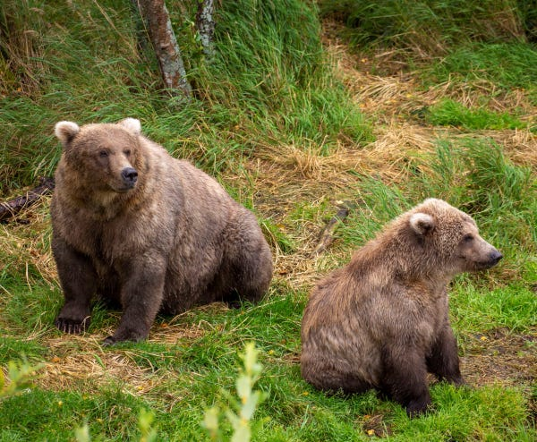 A fat sow sitting with her seated cub near her in the grass